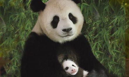 Panda rusza do akcji