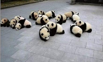Panda już w Polsce?