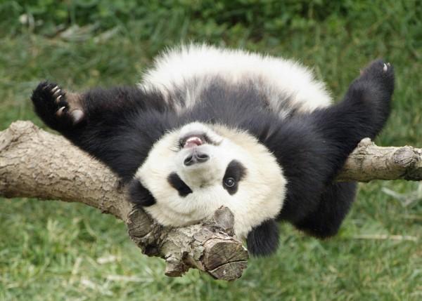 Panda wreszcie w Polsce – na pewno!